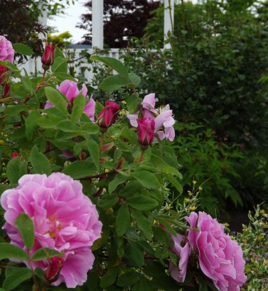 2016-5-rose06