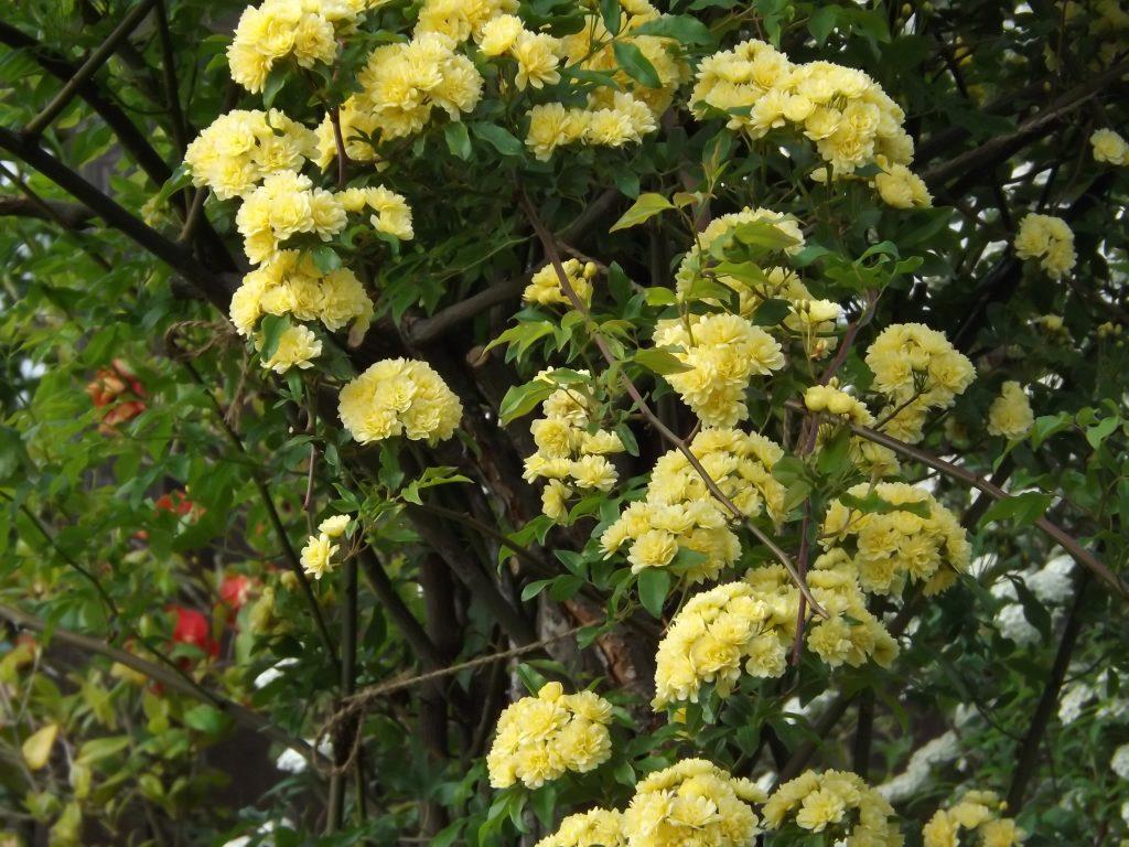 木香薔薇 もっこうばら モッコウバラ
