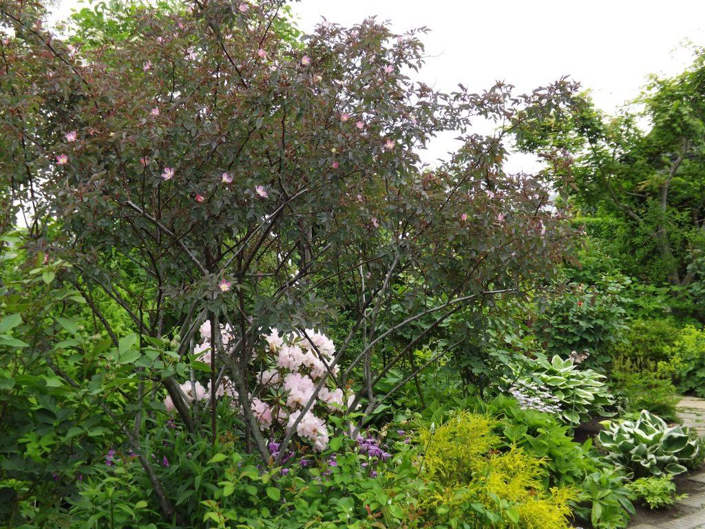 ロサ グラウカ ルブリフォリア glauca Rosa rubrifolia ヨシノスズバラ