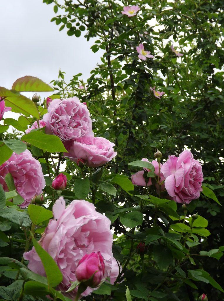 メアリーローズ Mary Rose