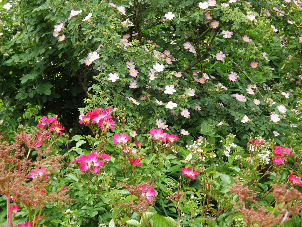 ロサ エグランテリア Rosa Eglanteria ローズヒップ ロージーカーペット