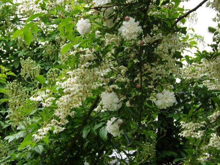 ロサ オドラータ Rosa Odorata 白長春 Rosa chinensis alba キネンシス アルバ