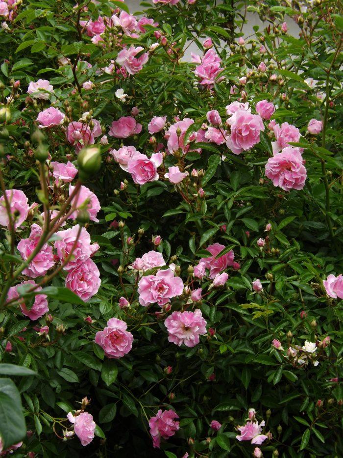 春がすみ スプリング パル 春霞 はるがすみ つる ピンク サマー スノー