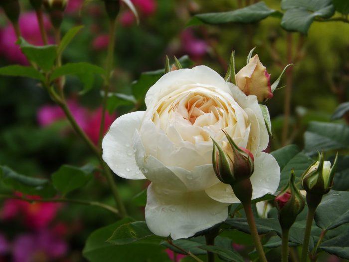 イングリッシュローズ ローズマリー Rose-Marie