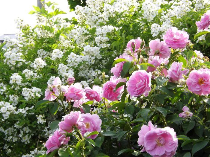 野ばら 原種 ノイバラ ムルティフローラ Rosa multiflora サラ バン フリート サラ ヴァン フリート Sarah van Fleet