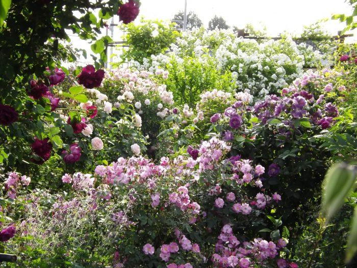 ラベンダー ラヴェンダー ドリーム Lavender Dream バラ