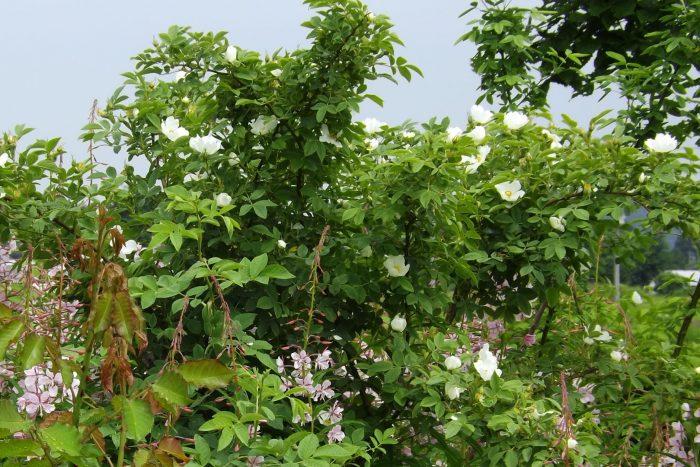 Rosa laxa ラクサ ヨーロッパ 台木 野ばら 原種 スピーシーズ