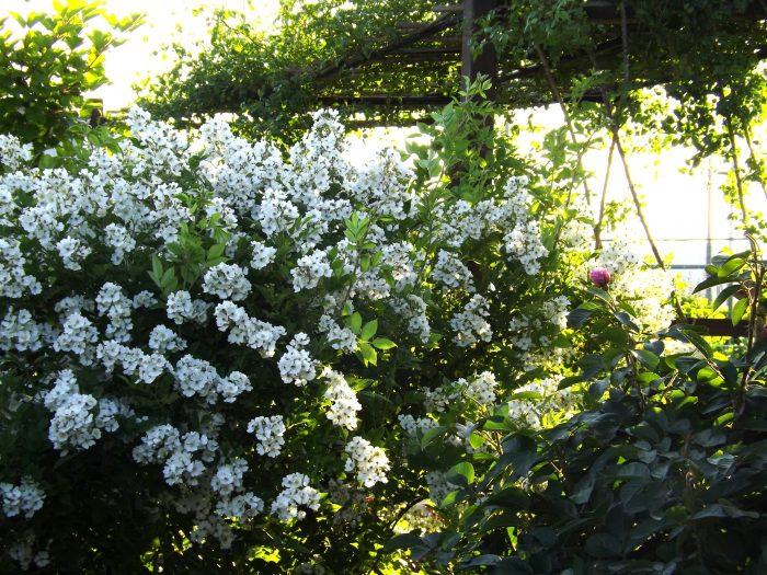 野ばら 原種 ノイバラ ムルティフローラ Rosa multiflora